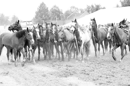Wild horses gather after the wild horse race!